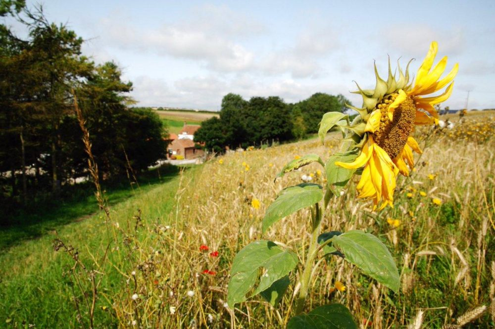 Sunflowers and sunshine at Humble Bee Farm