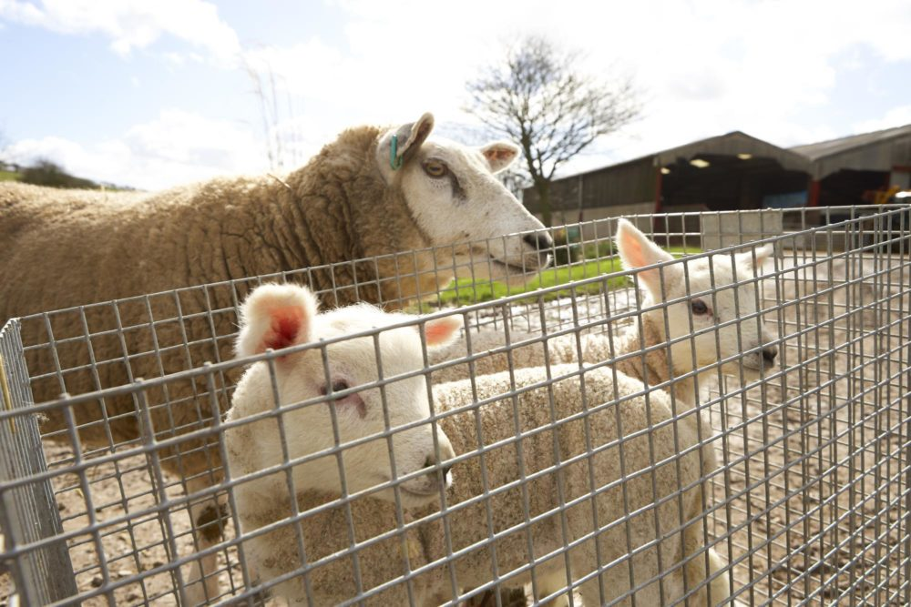 Sheep & Lambs during our lambing weekends