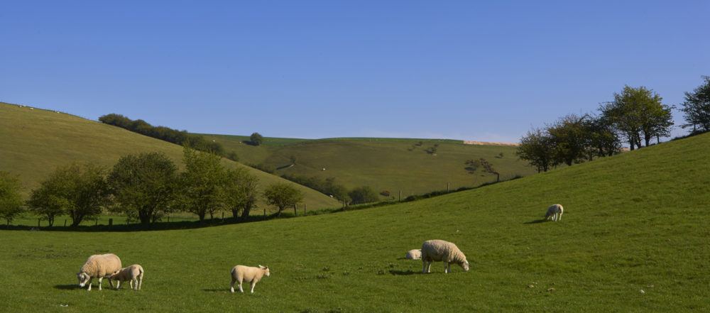 Sheep in the pastures, surrounding Humble Bee